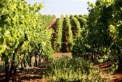 Aves são aliadas dos viticultores no controlo de pragas, revela investigador da UÉ