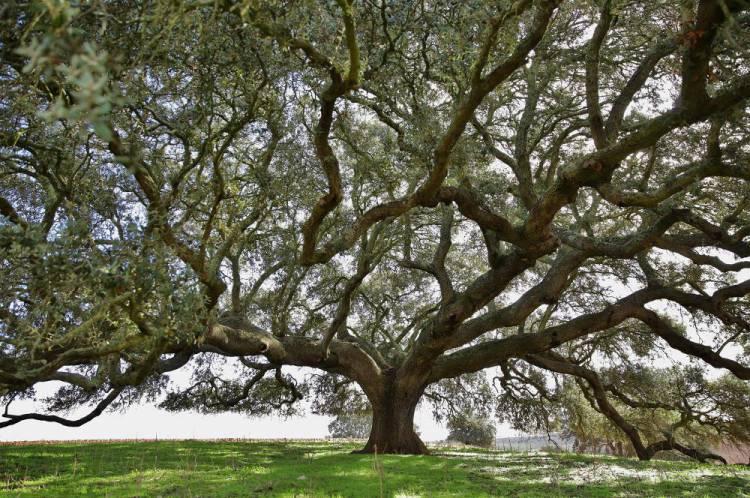 Azinheira de Mértola vence 3.º lugar no concurso Árvore Europeia do Ano