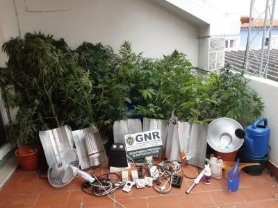 Sines: GNR detém dois homens e desmantela estufa de plantação de cannabis