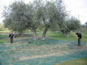 As Oliveiras estão entre as mais antigas árvores cultivadas do mundo, com forte tradição no Alentejo