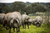 União Europeia desmistifica mitos sobre a carne de porco
