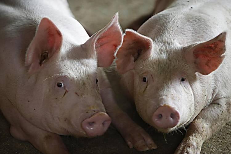 Em  Reguengos de Monsaraz, saem todas as semanas perto de 150 toneladas de carne com destino ao oriente.