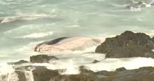 Baleia morta dá à costa em praia no Litoral Alentejano