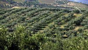 Área de olival em Alqueva triplicou desde 2012