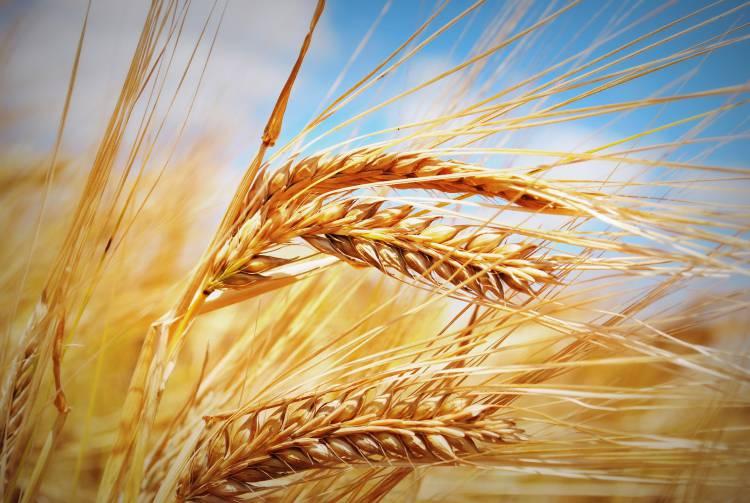Seca afeta área de regadio no Alentejo e faz prever diminuição de quantidade e qualidade dos cereais